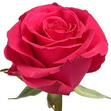 hot pink roses hot pink roses wholesale roses hot roses wholesaleflowers net
