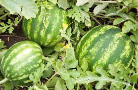 Growing Melons On A Trellis Growing Watermelons Bonnie Plants