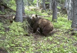 Bears Montana Hunting And Fishing - citing risks montana says no to 2018 grizzly hunting season the