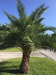 sylvester date palm tree sylvester palm growing crooked discussing palm trees worldwide