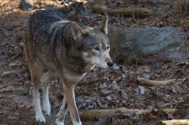 North Carolina wild animals images America 39 s forgotten wolf still lives in north carolina jpg