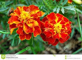Marigolds Shade by Zen Garden Marigold Colors