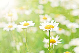 100 daisies free big daisy pictures high resolution images