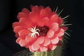 imagenes flores bellisimas bellísimas fotos de flores de cactus vix