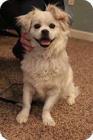 american eskimo dog short hair bedminster nj pekingese american eskimo dog mix meet tippy a