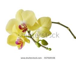Flower Of Orchid - set phalaenopsis orchid collection yellowgreen flowers stock