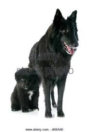 belgian sheepdog laekenois dog belgian shepherd groenendael stock photos u0026 dog belgian