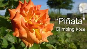pinata climbing rose youtube