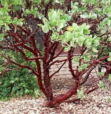 manzanita trees arctostaphylos manzanita dr hurd at san marcos growers