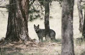 email join us as we fight for lobos in tucson on april 26