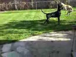 Dog In The Backyard by Great Danes Humping In The Backyard Youtube