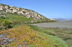 native plants grow on the sand dunes at this beach stock photo archives cnps slo