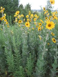 nj native plants ashy sunflower