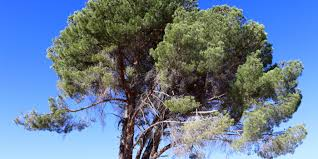 local cedar tree project project conservation inspiration across