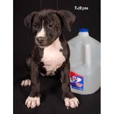 american pitbull terrier puppies louisiana beastmode kennels american pit bull terrier breeder in shreveport