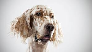 types of setter dog breeds english setter dog breed selector animal planet