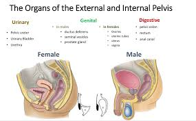 Male Anatomy Perineum Pelvis And Perineum Ii Anatomy Flashcards Memorang