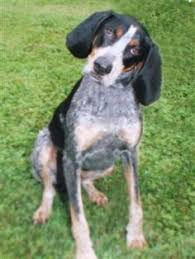 bluetick coonhound apparel train blue tick coonhound as a puppy for family dog bluetick