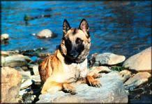 belgian shepherd diesel belgian shepherd dog malinois michigan dog training