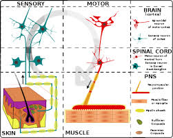 How Does A Reflex Arc Work In A Nervous System Nervous System Wikipedia