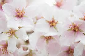 washington dc cherry blossom watch march 28 2018
