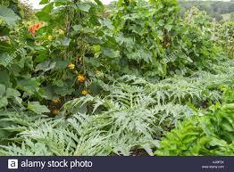 growing ornamental gourds stock photos growing ornamental gourds