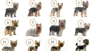 haircuts for yorkies yorkie hairstyles for males fade haircut