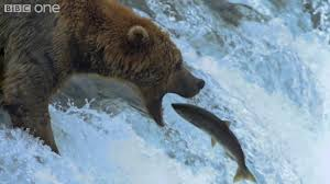 Bears Montana Hunting And Fishing - hd grizzly bears catching salmon nature s great events the great