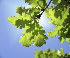 types of oak trees learn about different oak tree varieties