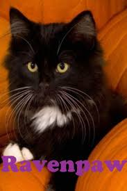 halloween cats 45 best if da warrior cats are real images on pinterest