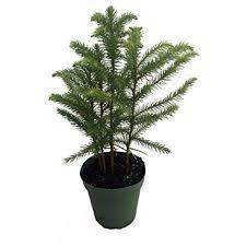 norfolk island pine the indoor tree 4 pot