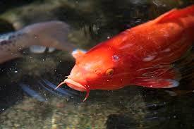 koi fish meaning and myth koi