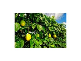 passion fruit seeds passiflora flavicarpa