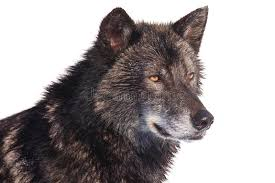 black wolf side portrait stock image image of predator 84197939