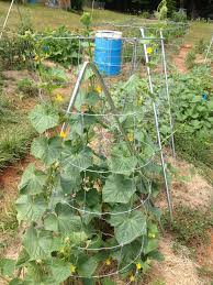 trellising cucumbers in the garden kw homestead