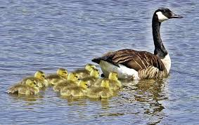 thom smith naturewatch lone mother goose spotted raising brood