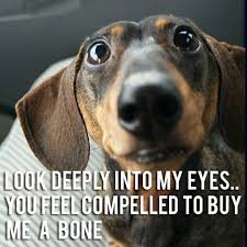 Dachshund Meme - the 10 best dachshund memes you will ever see the dachshund report