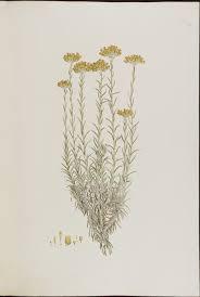 immortelle d italie cuisine immortelle d italie helichrysum italicum site officiel de la
