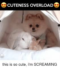 Cuteness Overload Meme - 25 best memes about cuteness overload cuteness overload memes