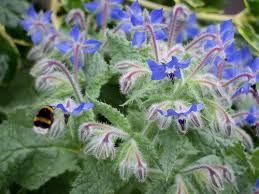 edible blue flowers edible blue flowers garden design ideas