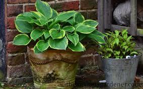 no sun plants rhodohypoxis the anxious gardener