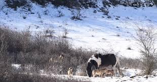 imagenes sorprendentes de lobos un caballo esta rodeado de lobos su método de autodefensa es