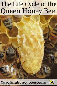 life cycle of the queen honey bee beehive bees and honey
