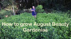 how to grow august beauty gardenia with a detailed description