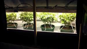 how well would a plant grow under pure yellow light a guide to growing sativa strains indoors grow weed easy