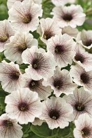 57 best petunias images on pinterest plants beautiful flowers