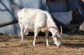 stages of goat pregnancy eden hills