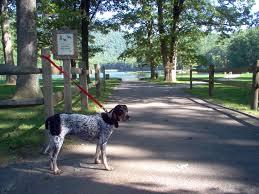 bluetick coonhound nh staunton va sassy sue my blue tick hound taken at sherando