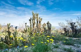 anza borrego wildflowers desert in bloom anza borrego wild flowers go san diego