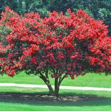 best 25 lagerstroemia ideas on crepe myrtle trees